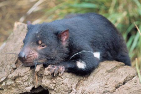 A Tasmanian Devil resting on a log